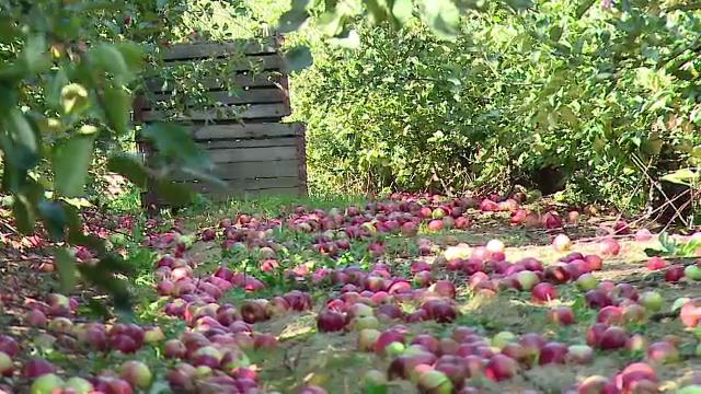 Paradoxul revoltator al unei recolte record in Romania. Cine raspunde pentru merele ce sunt lasate sa putrezeasca in livezi