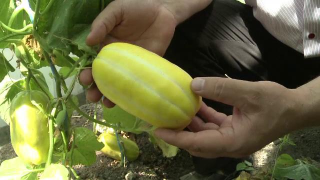 Cercetatorii din Buzau au creat pepenele galben de o persoana si vinetele cat oul de gaina. Cand vor ajunge in piete