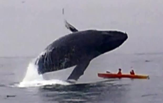 Momentul incredibil in care o balena aterizeaza pe un caiac in care se aflau 2 turisti.