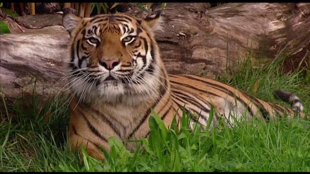Tragedie la un zoo din Noua Zeelanda: o ingrijitoare a fost ucisa de un tigru de Sumatra. Ce se va intampla cu animalul