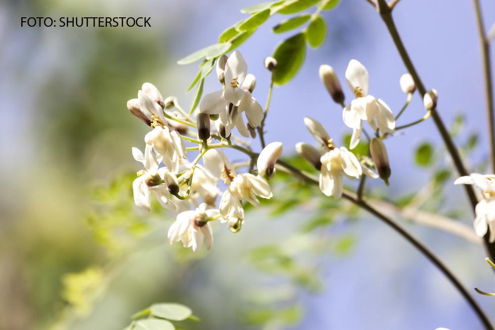 """""""Copacul lui Dumnezeu"""", adus din Himalaya la Buzau. Ce proprietati miraculoase are planta"""