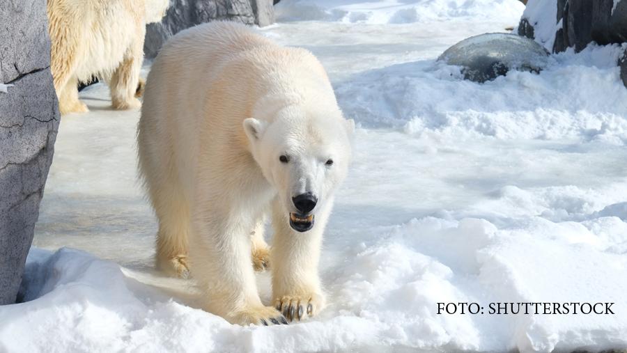 Asediul ursilor polari, in nordul Siberiei. O echipa de savanti rusi traieste de 2 saptamani un adevarat film de groaza