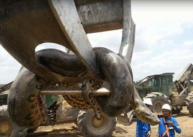Sarpe anaconda urias, cu diametrul de un metru si 400 de kilograme, descoperit pe un santier din Brazilia. VIDEO