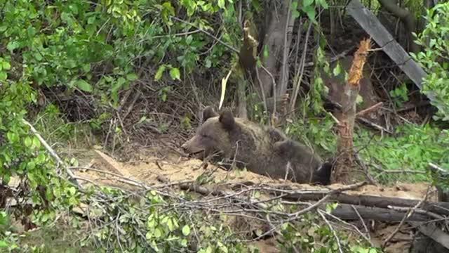 Animale ucise de urșii care coboară în sate, în Mureș. Oamenii au făcute peste 100 de plângeri
