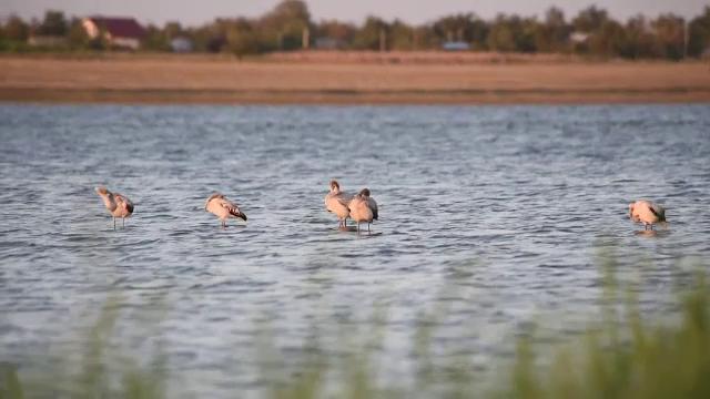 Șapte păsări flamingo au ajuns în România. Pentru prima oară, și-ar putea face cuib aici