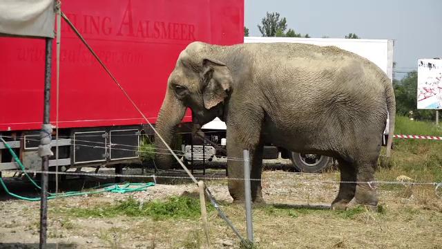 Cum a ajuns poliţia să escorteze un elefant de circ pe străzile din Sighetu Marmaţiei