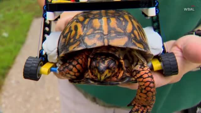 O broască ţestoasă rănită a primit un scaun cu rotile făcut din Lego