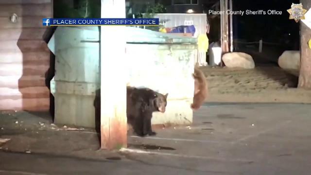 Pui de urs rămas blocat în containerul în care-și căuta ceva de mâncare