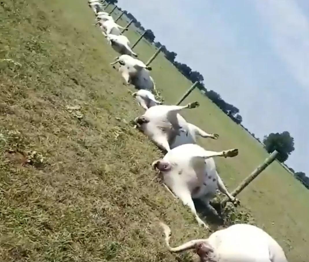 Zeci de vaci au fost ucise de un fulger. Imaginile șocante filmate de un fermier