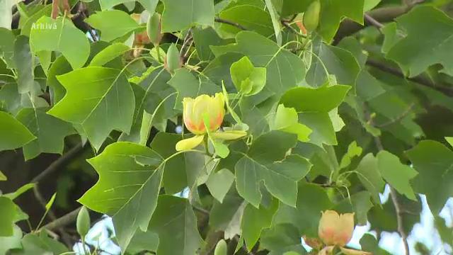 Copacul dintr-o specie rară care crește de 140 de ani în Valea Jiului. Cum arată