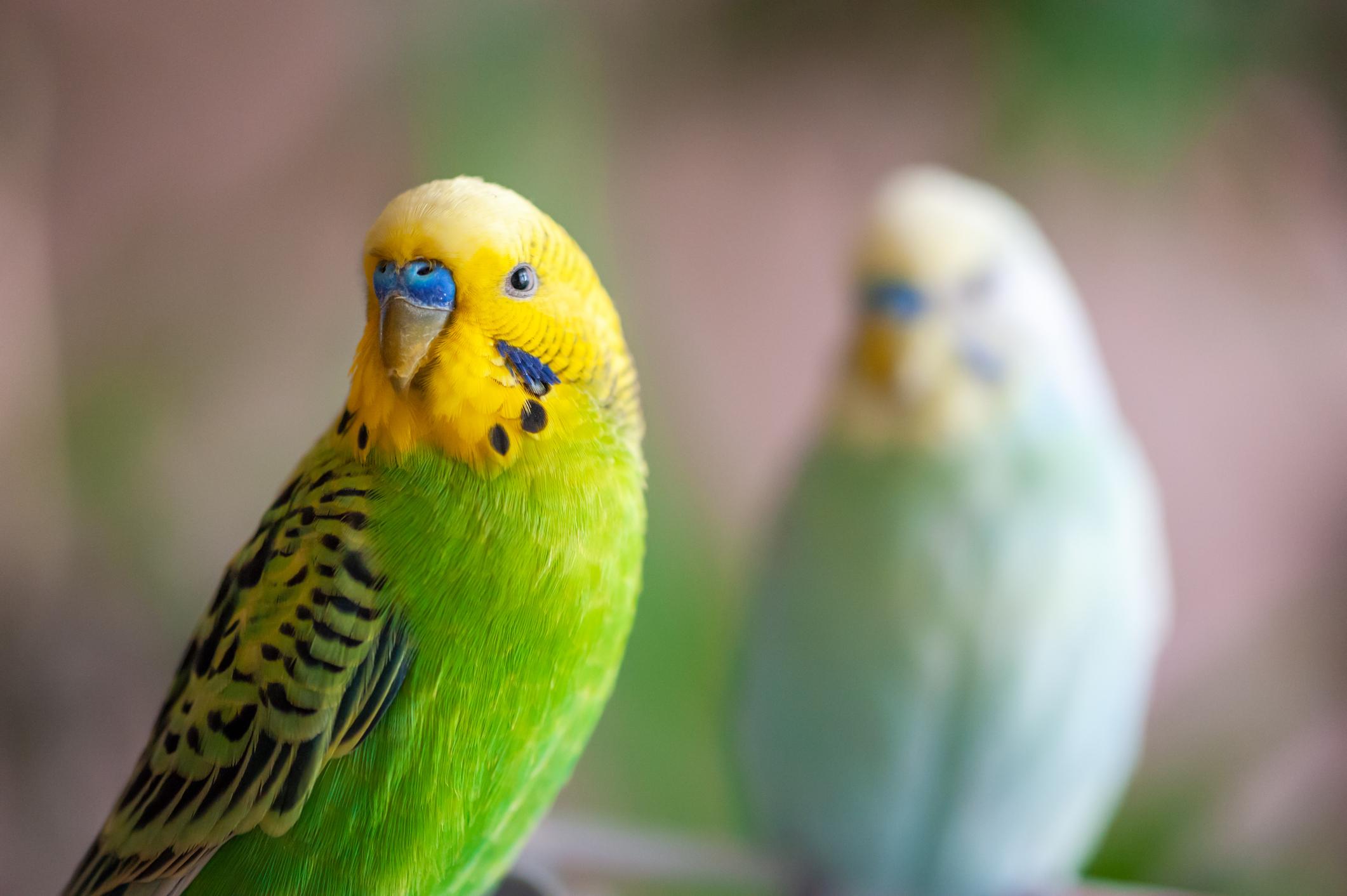 """Oamenii care au papagali se plâng că nu pot lucra de acasă din cauza gălăgiei: """"Pasărea mea urlă, cum o opresc?"""""""