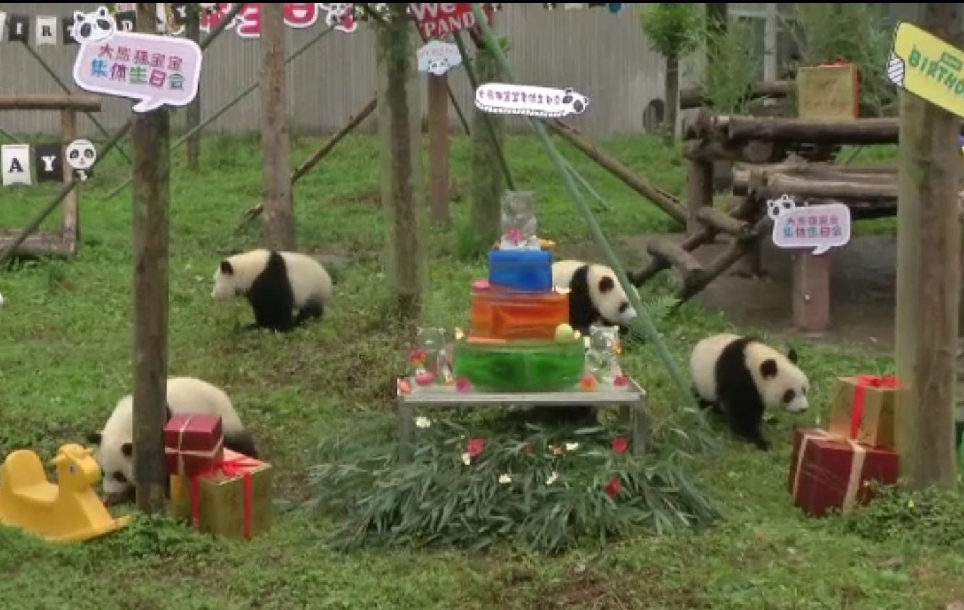 Petrecere cu tort la un centru dedicat urșilor panda, din China. Ursuleții sunt împărțiți în trei clase