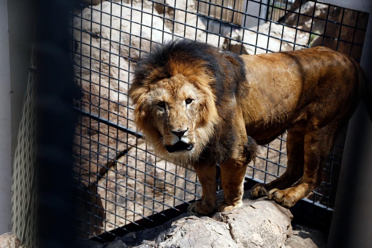 O grădină zoologică va începe să-și vaccineze animalele împotriva COVID-19