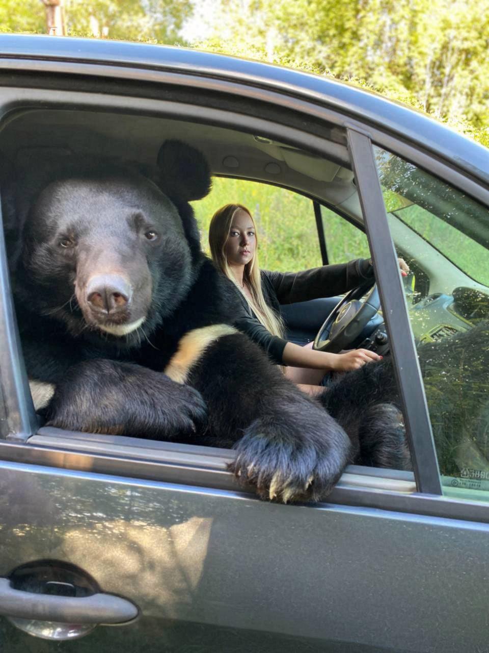 O tânără din Rusia călătorește în mașină cu un urs himalayan pe locul pasagerului din dreapta