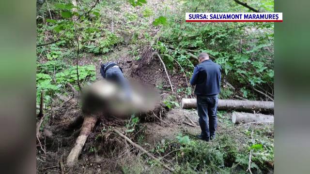 Sfârșit tragic pentru un bărbat din Borșa. A murit strivit de un copac chiar în fața soției