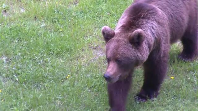 Un bărbat din Prahova a fost desfigurat de un urs. S-a trezit cu el în față în grădină
