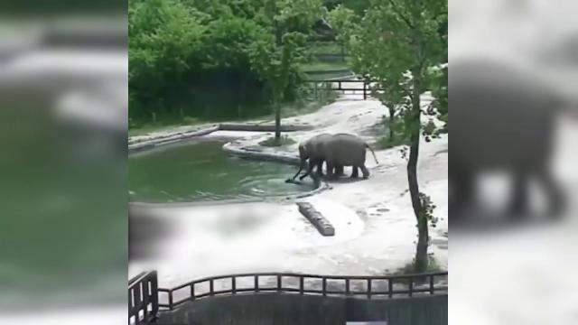 Înduioşător. Cum a fost salvat un pui de elefant care a căzut într-un iaz