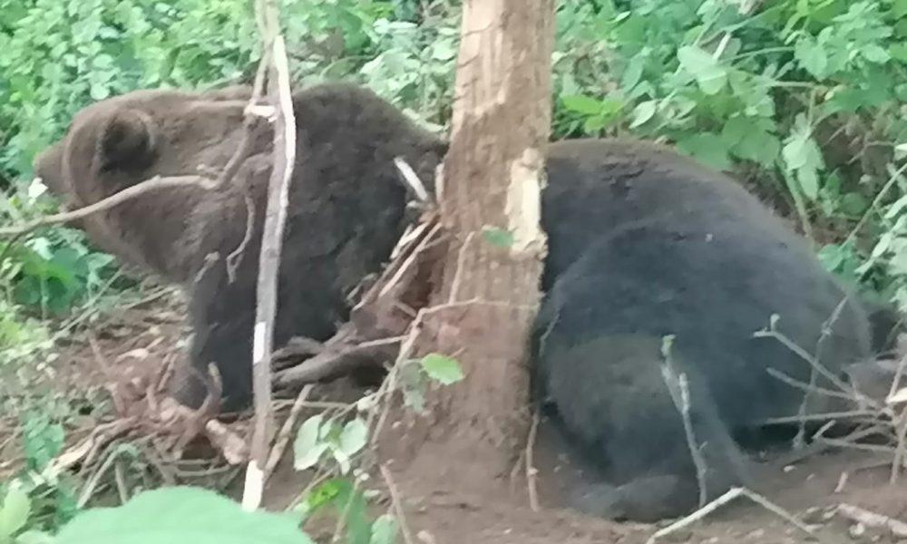 Un urs s-a chinuit 12 ore blocat într-un gard din Neamț, pentru că primăria nu avea contract cu o asociație de vânători