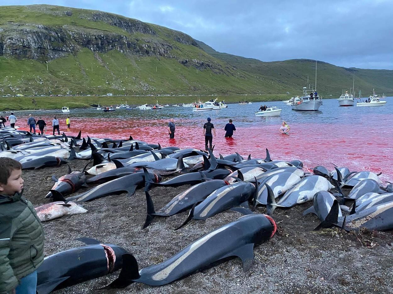 Val de furie după uciderea a peste 1.400 de delfini, în Feroe. Apele erau înroșite de sânge, iar plajele pline de cadavre