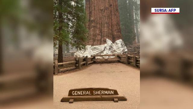 Cel mai mare copac de pe Pământ, un sequoia vechi de 2.500 de ani, a fost acoperit în folie rezistentă la incendiu