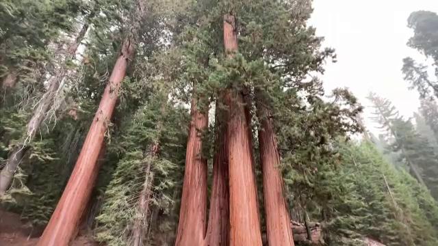 Cel mai mare copac din lume, amenințat de incendiile de vegetație din SUA. Cum se încearcă protejarea arborilor sequoia