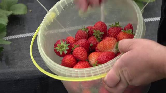 Solariile și câmpurile din România sunt pline de căpșuni. Cât costă un kilogram
