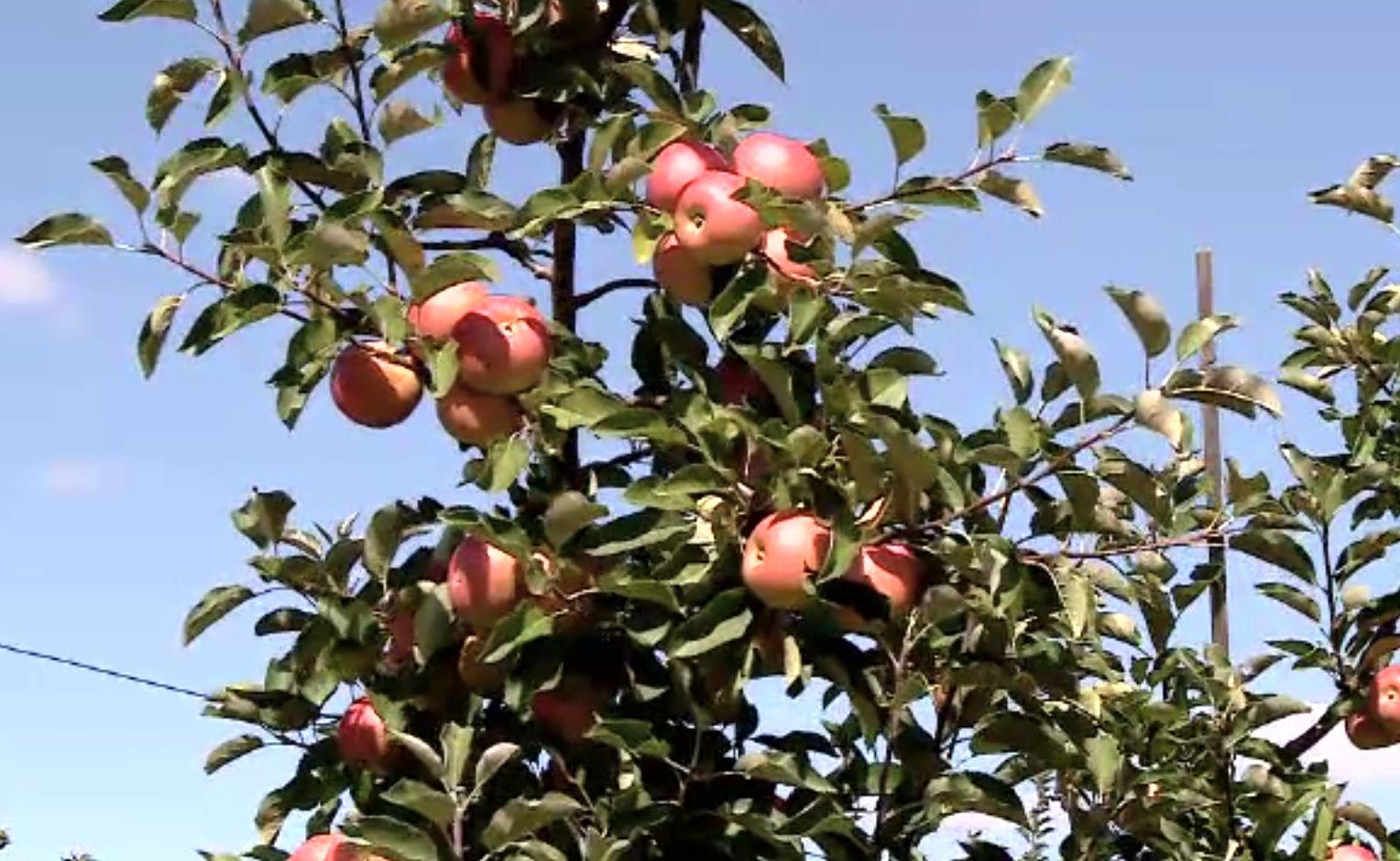 Producție semnificativă de mere toamna aceasta. Producătorii se plâng că nu au cui să vândă marfa