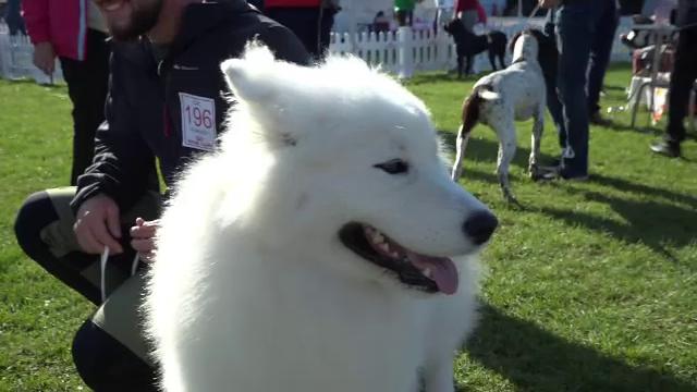 """Concurs de frumusețe canină la Sebeș. Ce câini sunt """"alarme wireless permanente"""" și cât costă cele mai arătoase patrupede"""