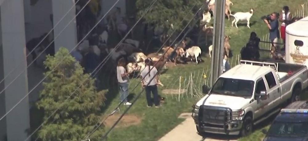 Imagini incredibile surprinse în SUA. O turmă de capre a ieșit la păscut într-un cartier din Atlanta